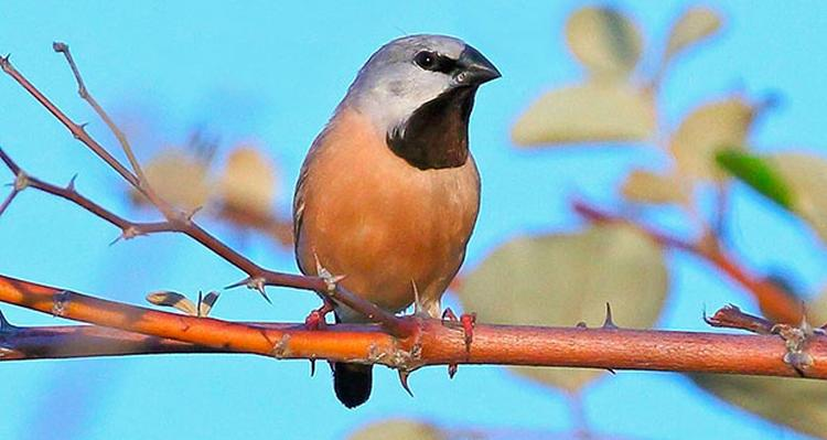 black throated finch optimised